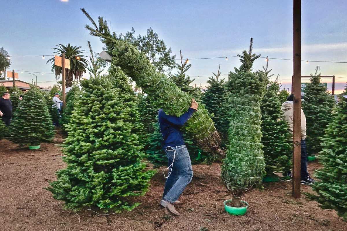 my-christmas-tree-GDUJ9BS (4)